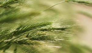 Zaawansowane Żyto jare - zdjęcie 2 - Żyto jare - wymagania i sposoby uprawy VO83