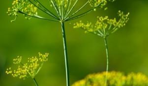 Koper ogrodowy właściwości lecznicze