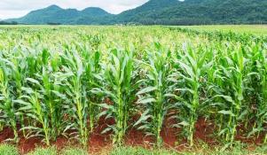 Jak siać kukurydzę ręcznie