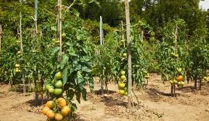 Uprawa pomidorów gruntowych
