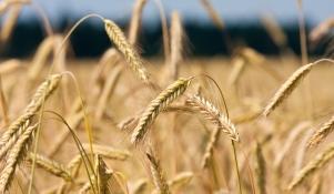 Ogromny Żyto jare - wymagania i sposoby uprawy popularnego zboża - Rynek Rolny GC23