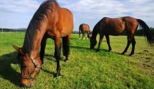 Karmienie koni wysłodkami
