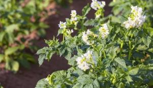 Odmiany ziemniaków jadalnych w polsce