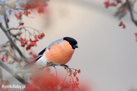 Gil Przyjazny Ludziom Ptak O Delikatnym Melodyjnym śpiewie
