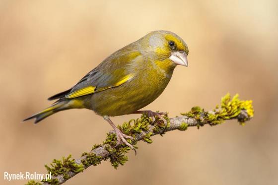 Dzwoniec Malutki Ptak O Charakterystycznym żółto Zielonym