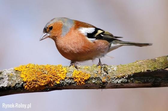 Zięba Niezwykle śpiewny Drobny Ptak Występujący Bardzo Licznie W