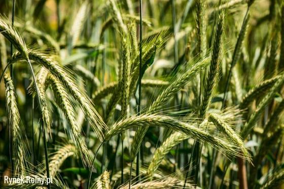 Rewelacyjny Żyto jare - wymagania i sposoby uprawy popularnego zboża - Rynek Rolny YU21
