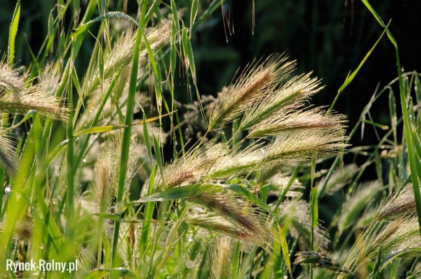 Młodzieńczy Żyto jare - zdjęcie 2 - Żyto jare - wymagania i sposoby uprawy WO34