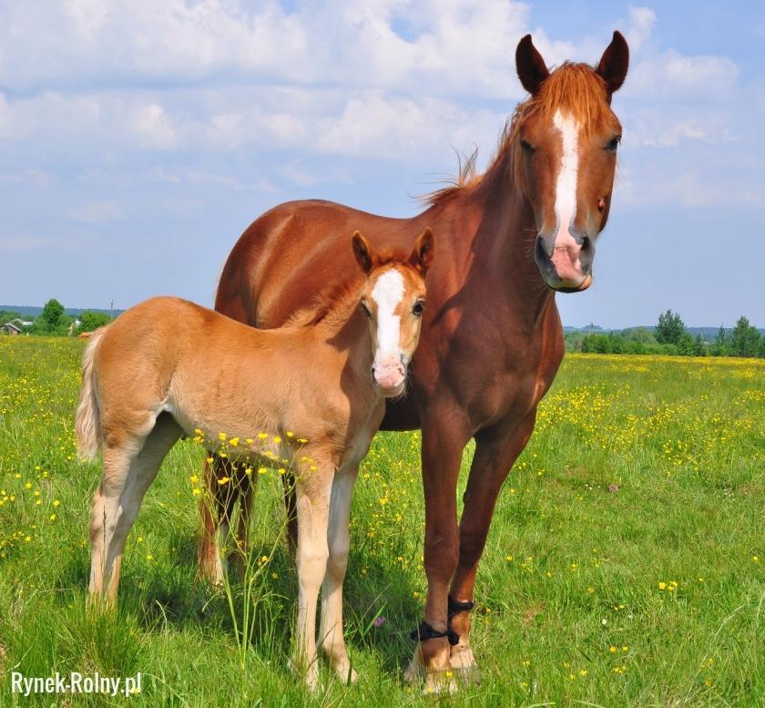 Klacz i źrebak - zdjęcie 5 - Rozmnażanie koni - krycie, ciąża i poród -  Rynek Rolny