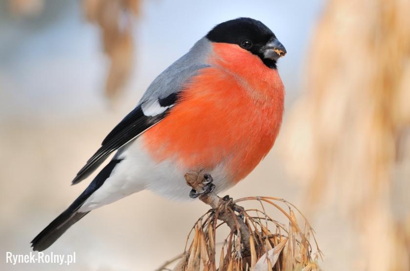 Gil Zdjęcie 2 Gil Przyjazny Ludziom Ptak O Delikatnym